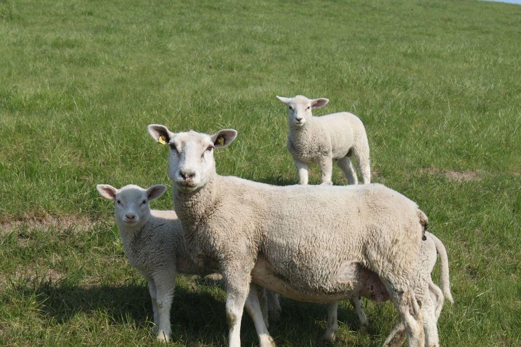 sheep-400593_1280