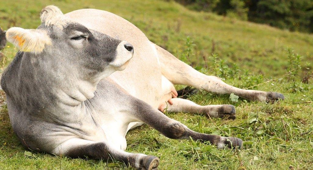 cow-454732_1280