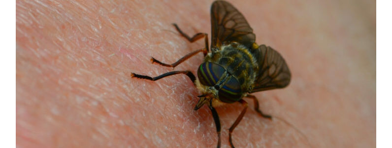 Horse Fly Bites: Symptoms, Treatment and More